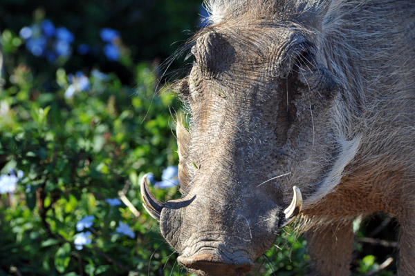 Warthog close-up, Addo Elephant National Park