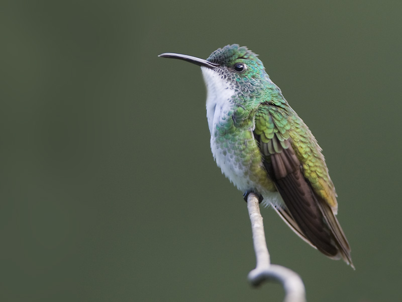 white-chested emerald<br><i>(Amazilia brevirostris, NL: witborstamazilia )</i>