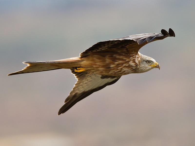 red kite <br> milano real <br> Milvus milvus