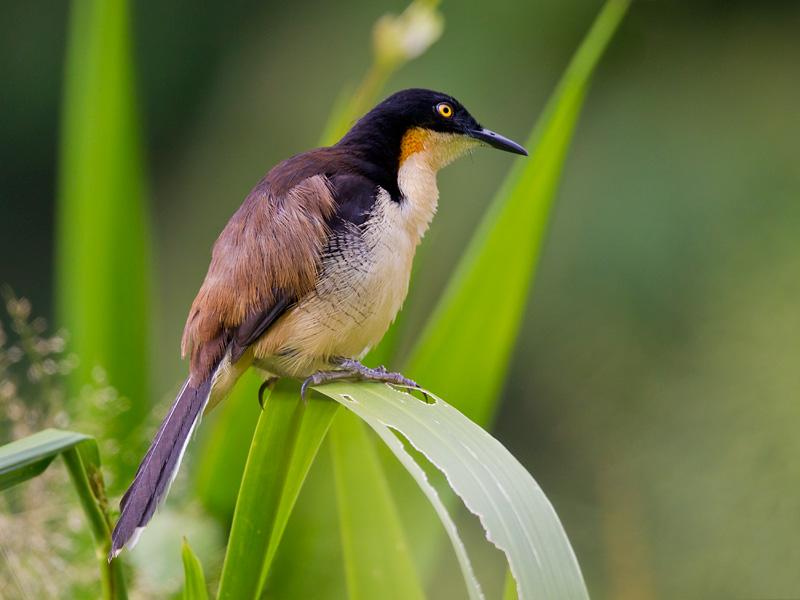 black-capped donacobius <br> Donacobius atricapilla