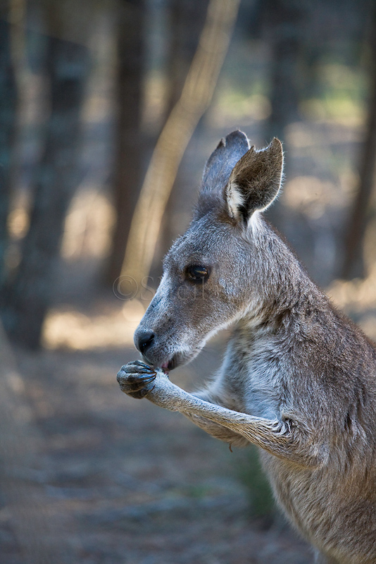 Kangaroo with paws