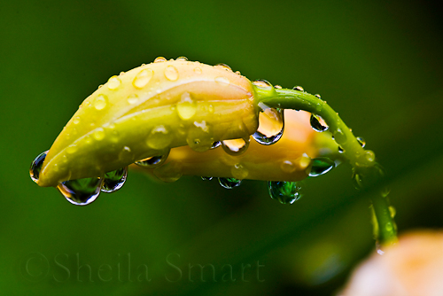 Orchid bud with raindrops