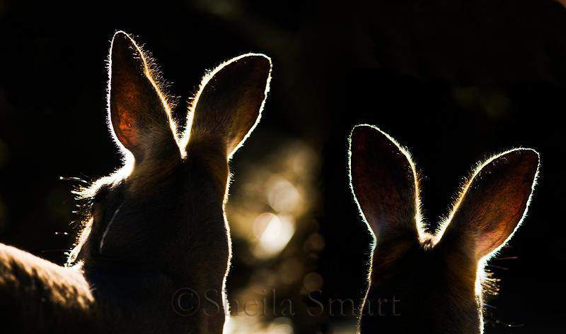 Kangaroos backlit