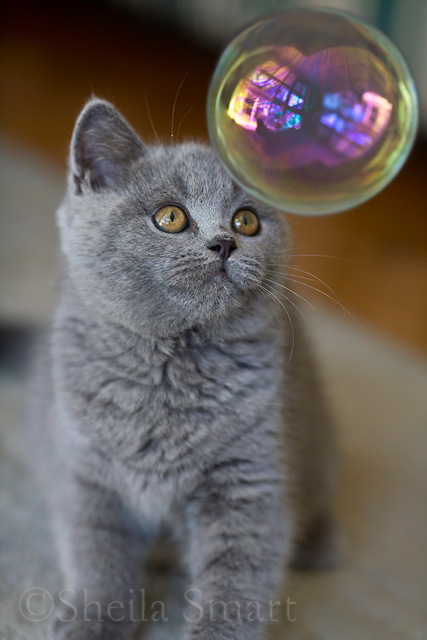 British blue kitten with bubble