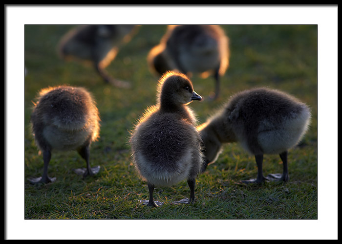 Goslings from the goose that laid the golden egg?