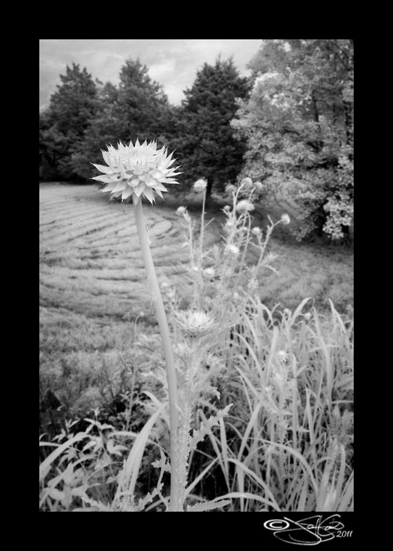 143<br>Thistle in IR III