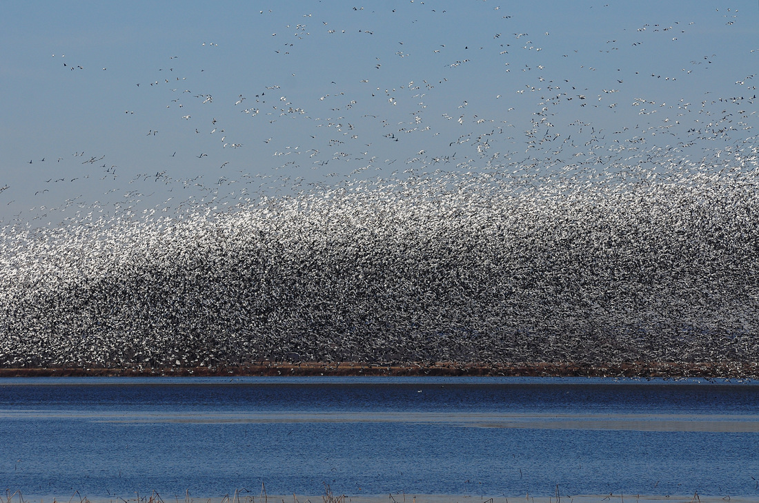 Snow Geese at Squaw Creek