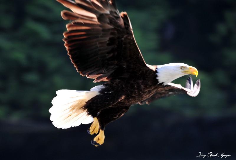 Eagle at Dent island, British Columbia, Canada