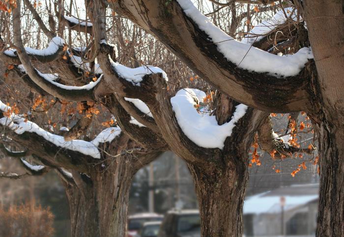 Main Street Trees