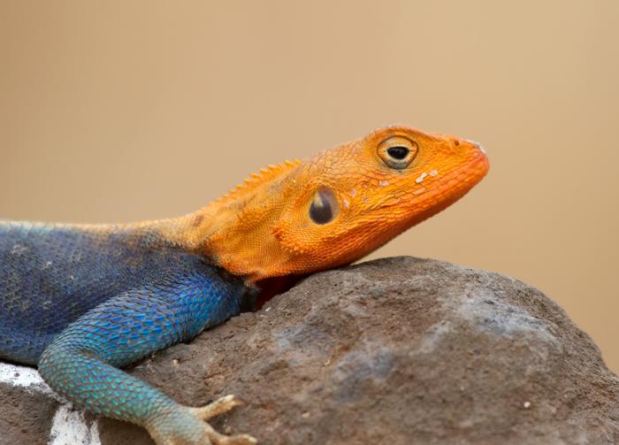 Agiami-Lizard.jpg