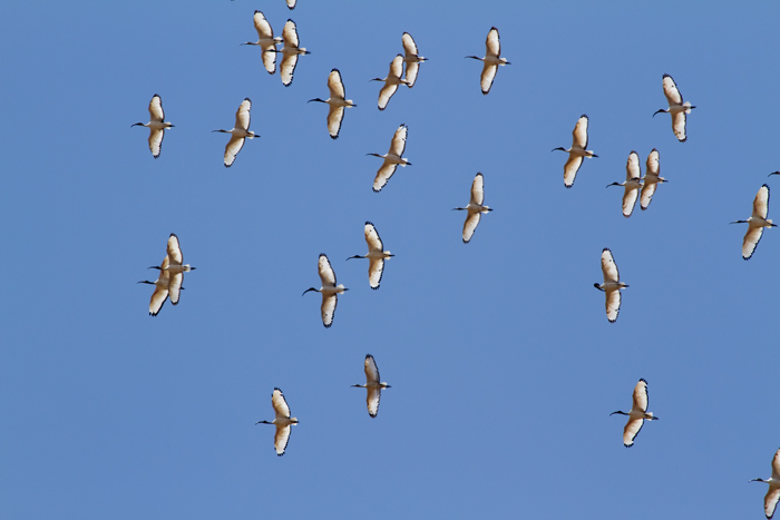 Sacred-Ibis.jpg