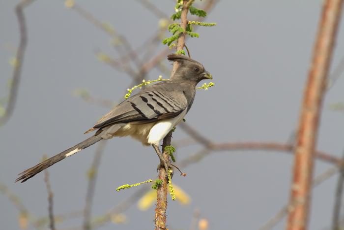 White-bellied-Go-away-bird.jpg