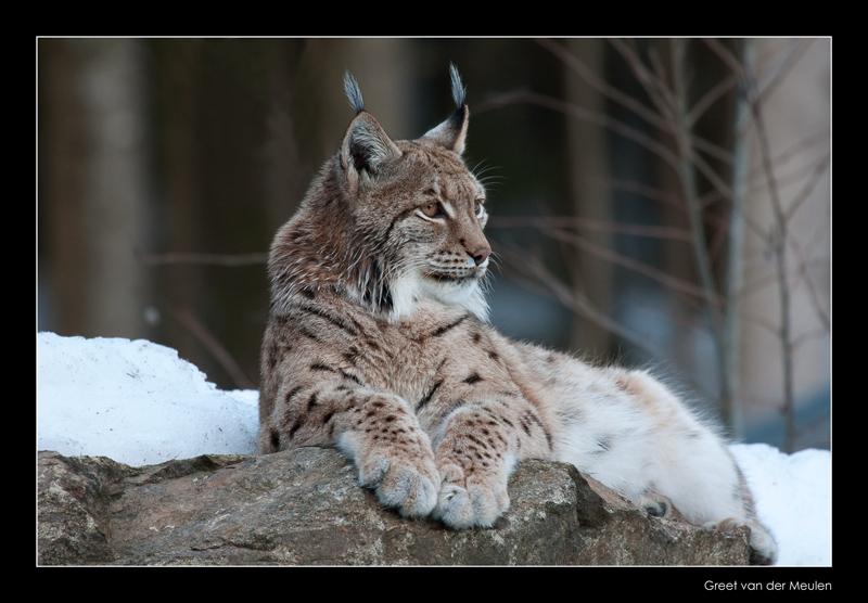 8496 lynx  (C)