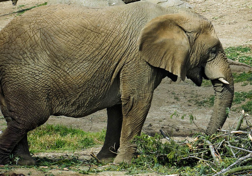 Elephants have nicer grounds than at the San Francisco zoo. #0857