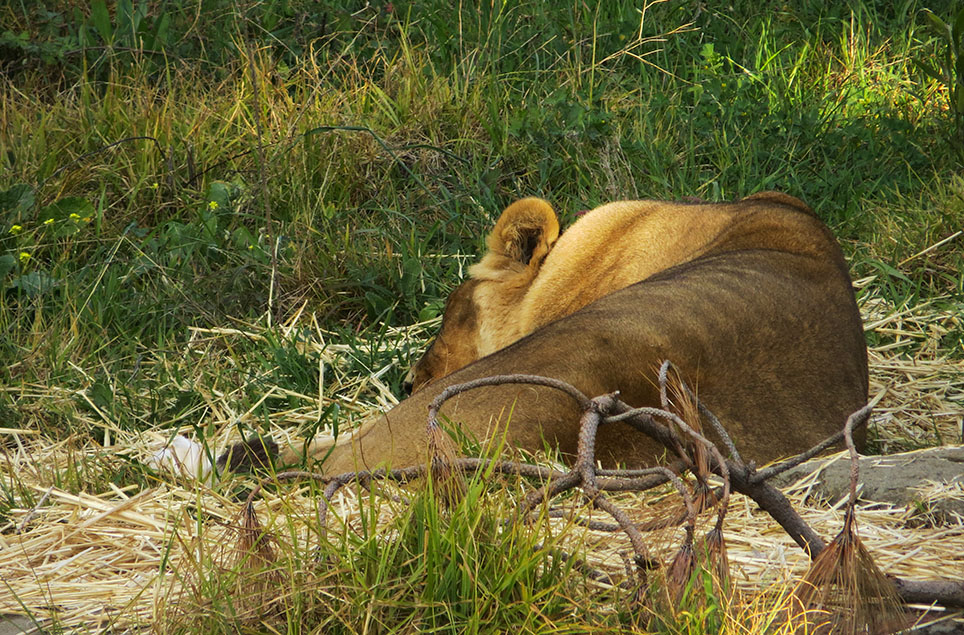 Back at lions area.  The females still napping. #1022
