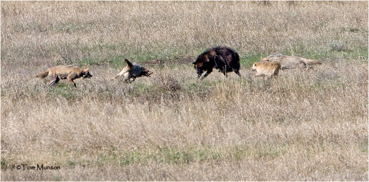 Wolf-Coyotes