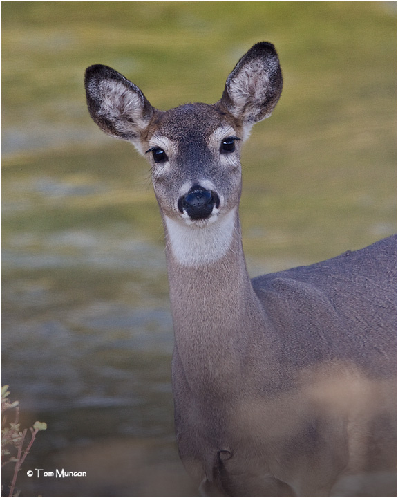 White tailed Deer (doe)