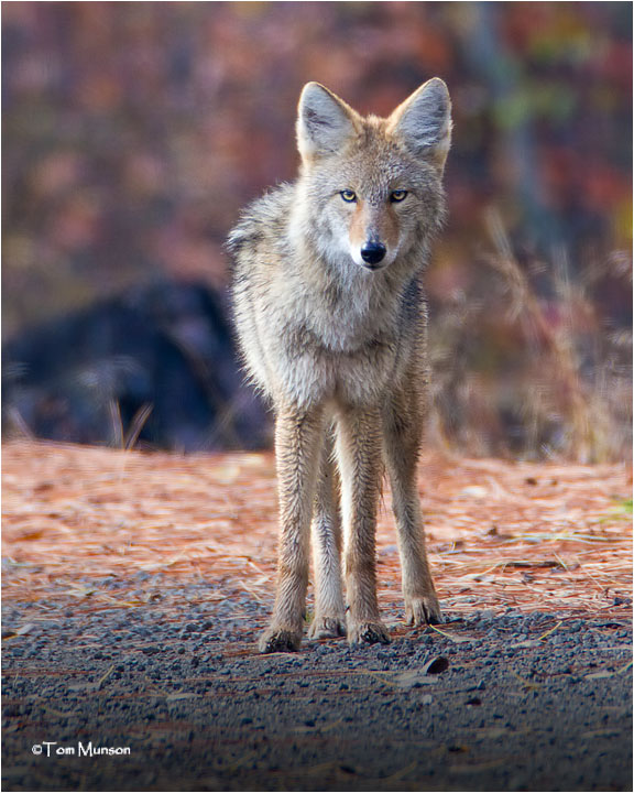 Coyote (yearling)