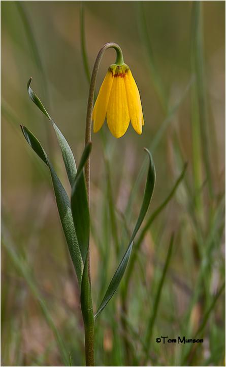Yellow Bell