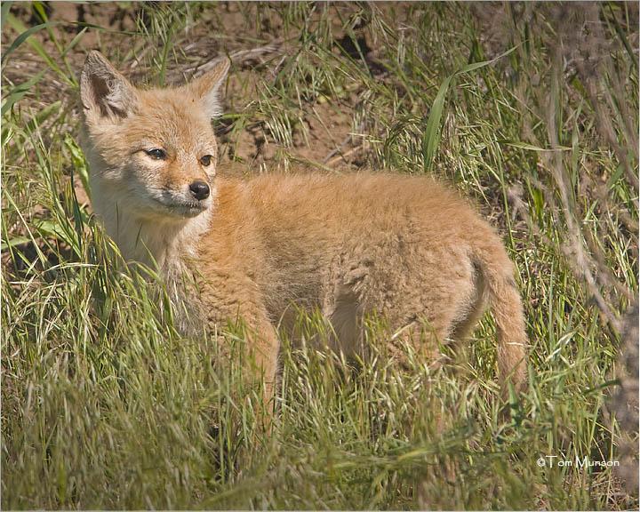 Coyote  (pup)