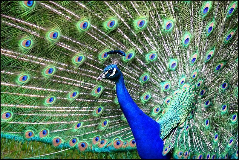 Peacock at Shakespear Bay