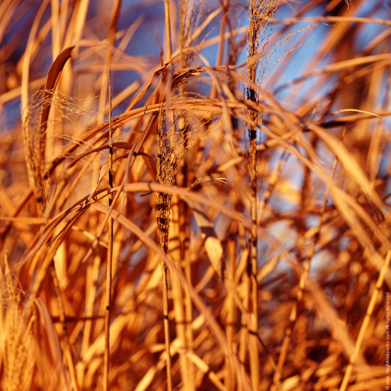 Dried Cane on The Wind