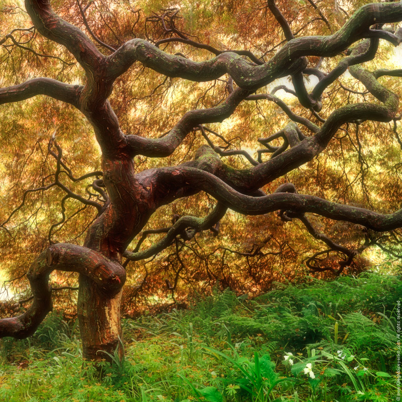 Under the Shadow of the Ancient Japanese Maple