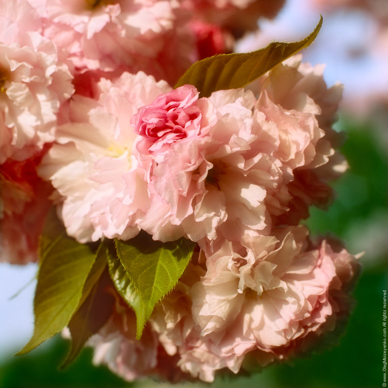 Under The Sakura Tree