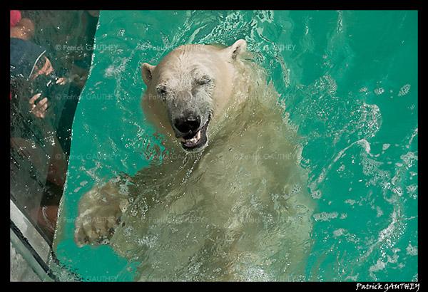 Polar bear raspoutine 5852.jpg
