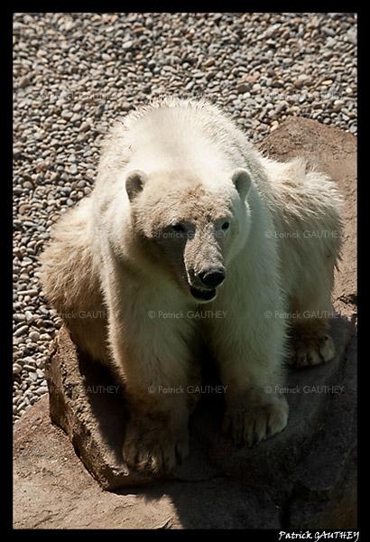 Flocke Polar bear 5814.jpg