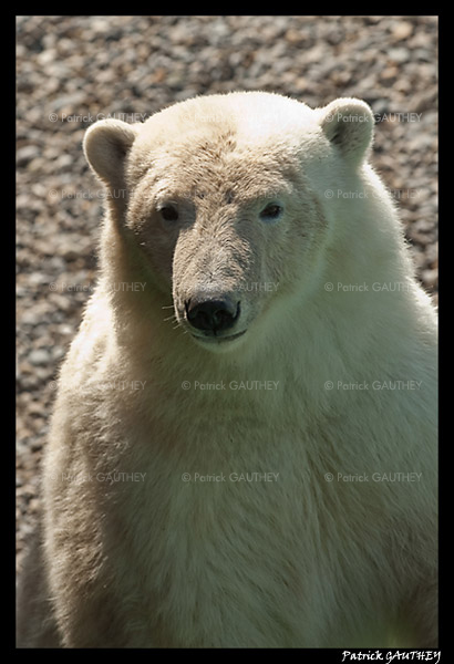 Flocke Polar bear 5892.jpg