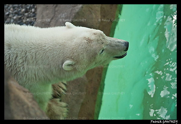 Flocke Polar bear 5929.jpg