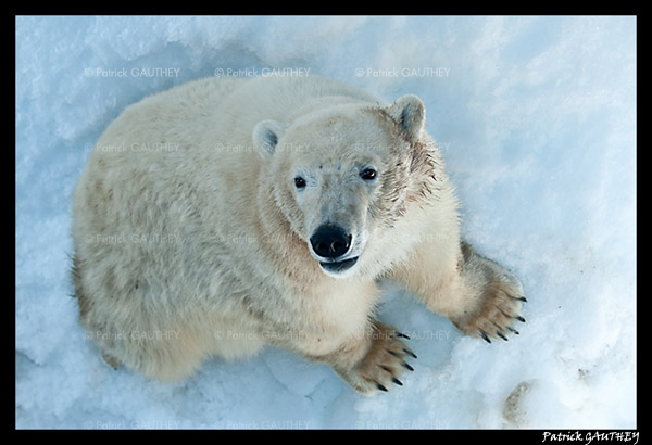 Flocke Polar bear 6215.jpg