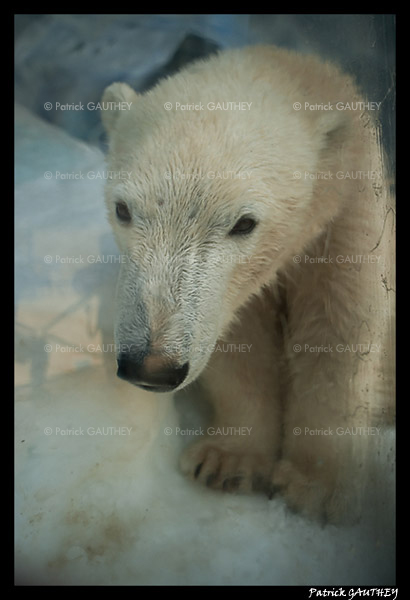 Polar bear Flocke 6344.jpg
