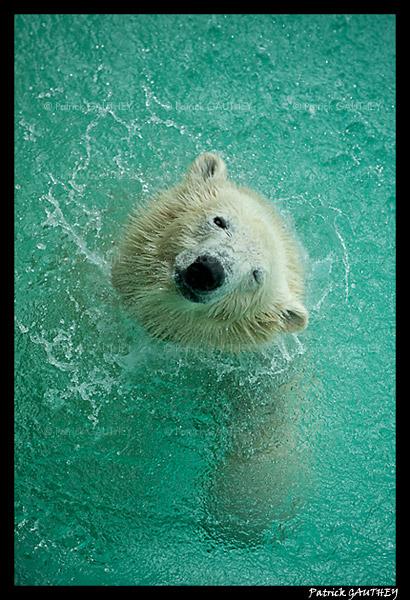 Flocke Polar bear 6397.jpg