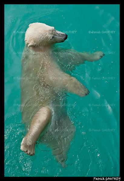 Flocke Polar bear 6400.jpg