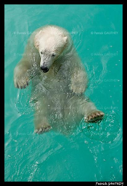Flocke Polar bear 6406.jpg