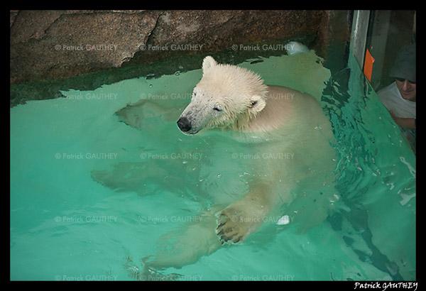 Flocke Polar bear 6494.jpg