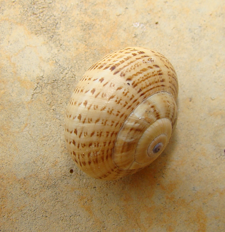 Caracol / Snail / Schnecke / Escargot / Slak (Theba pisana)