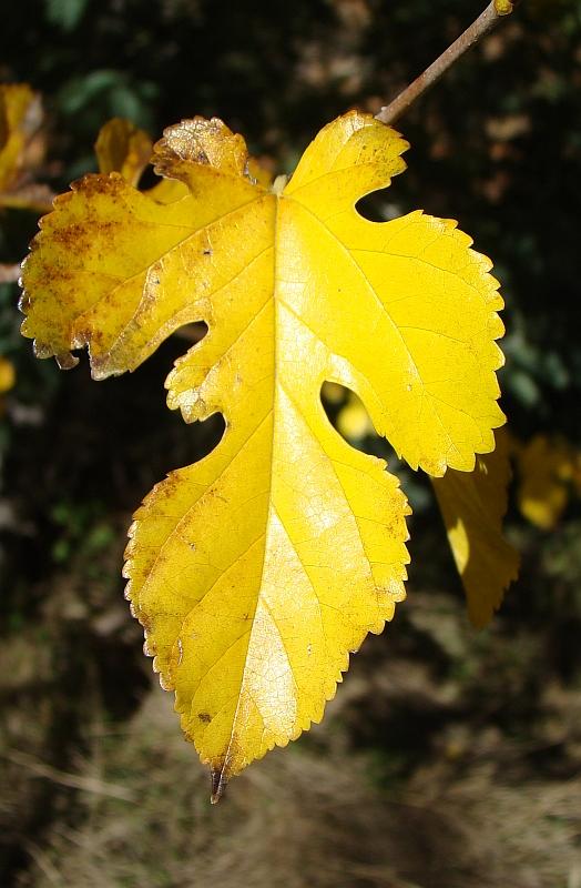 Amoreira: folha // Mulberry: leaf (Morus sp.)