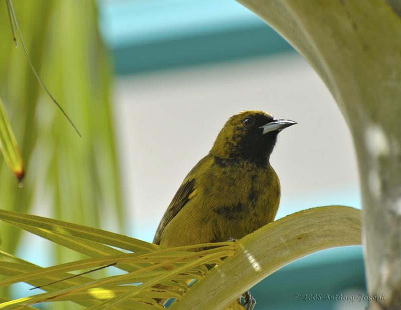 Female Black-Cowled Oriole_DSC8851-800.jpg