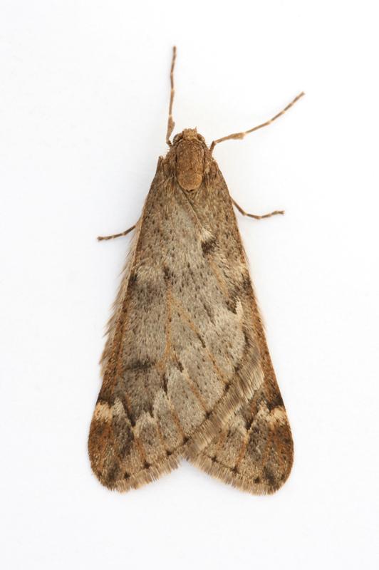 1663 March moth