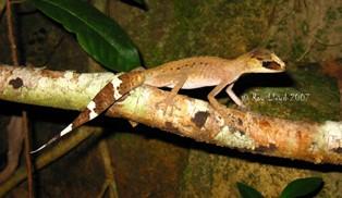 Carphodactylus laevis
