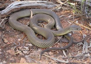 Pseudechis australis