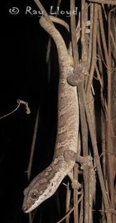 Pseudothecadactylus australis