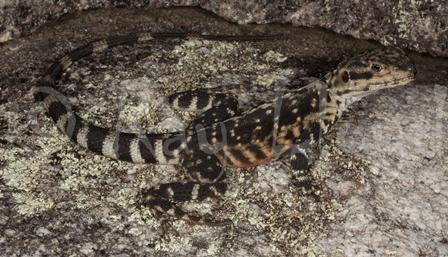 Ctenophorus ornatus