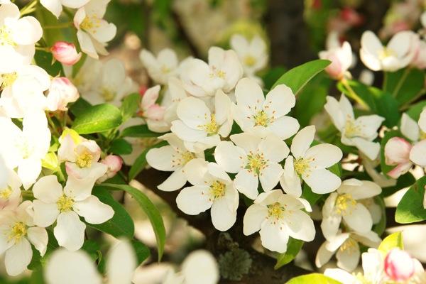 39DSC06886-image-flowers.jpg Spring Crab Apples- color form and light