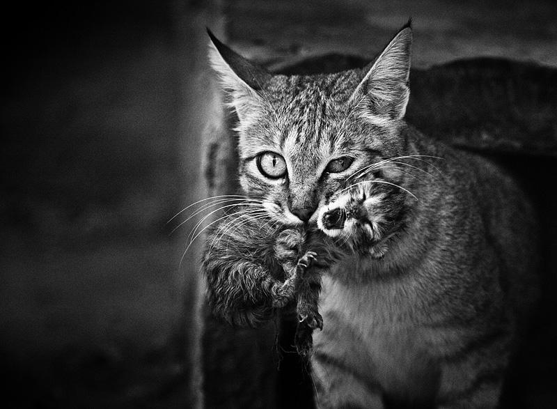 IMG_6565 - Wild cat