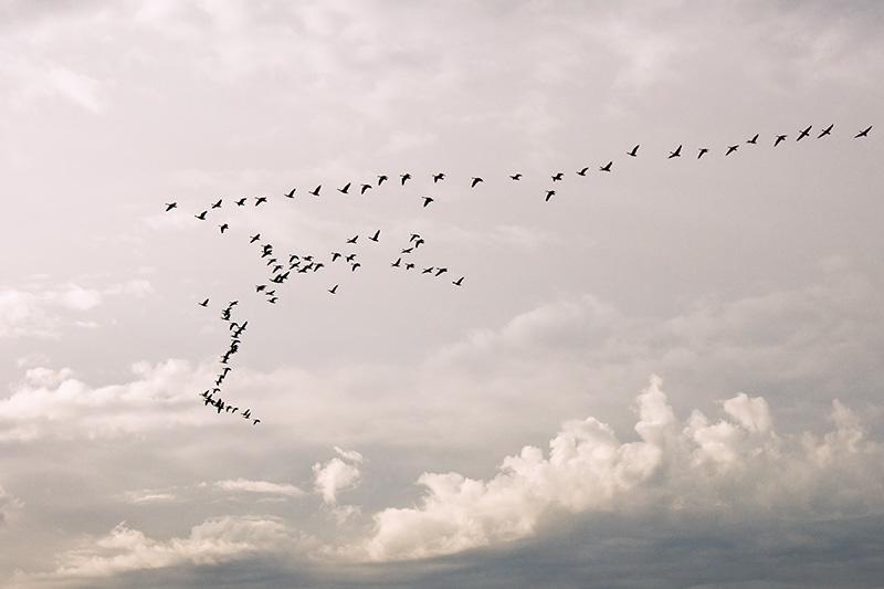 Goose flock in dynamic skies