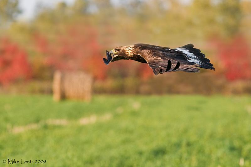 Golden Eagle autumn flight